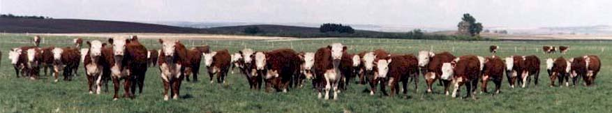 Bred Commercial Heifers (36085 bytes)